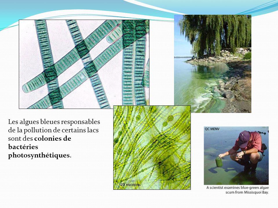 Les algues bleues responsables de la pollution de certains lacs sont des colonies de bactéries photosynthétiques.