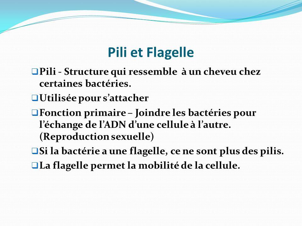 Pili et Flagelle Pili - Structure qui ressemble à un cheveu chez certaines bactéries. Utilisée pour s'attacher.