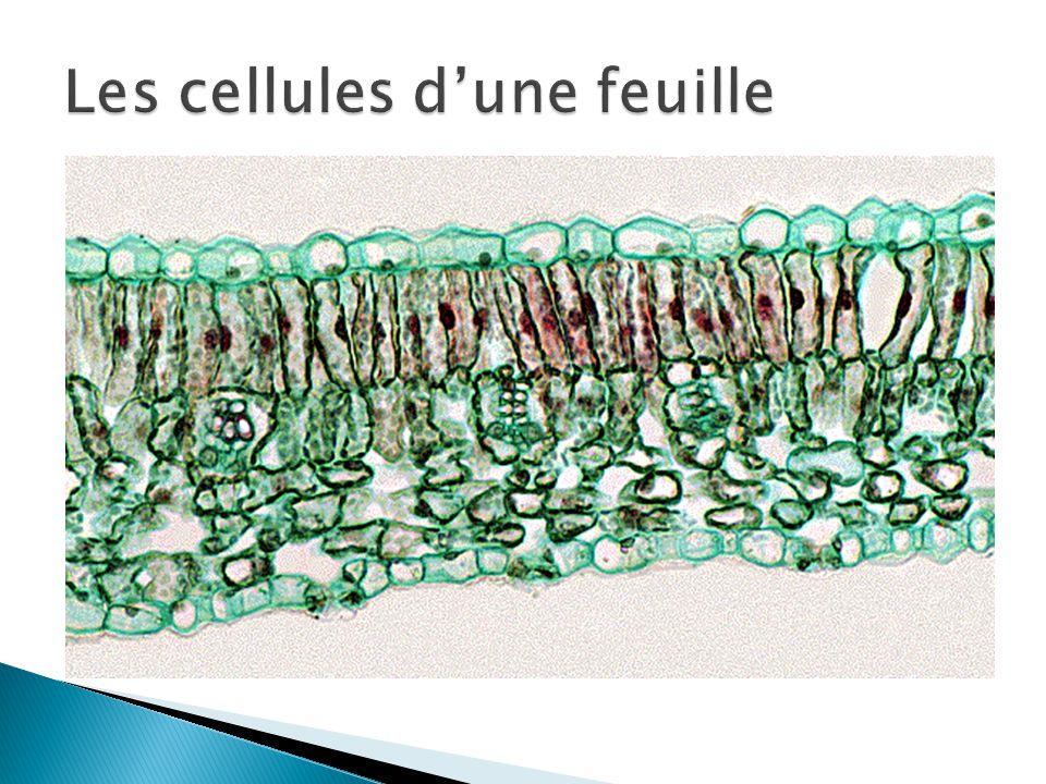 Les cellules d'une feuille
