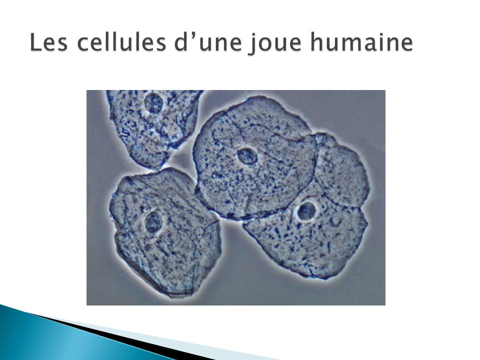 Les cellules d'une joue humaine