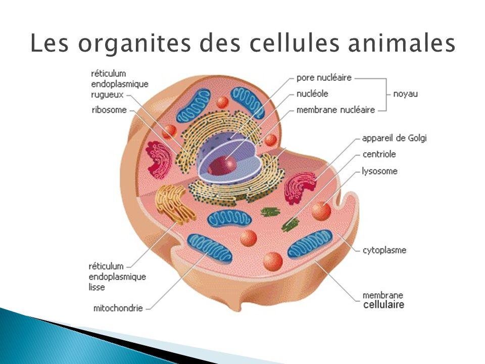 Les organites des cellules animales