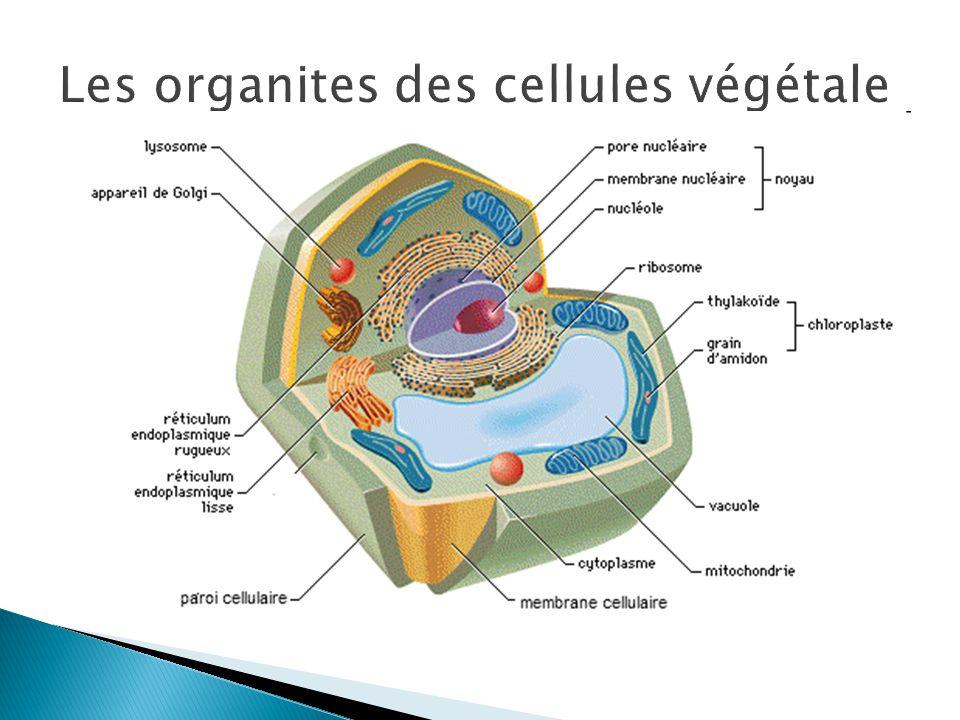 Les organites des cellules végétale