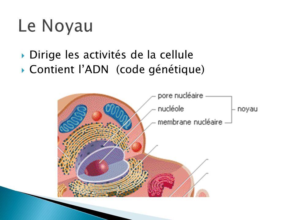 Le Noyau Dirige les activités de la cellule