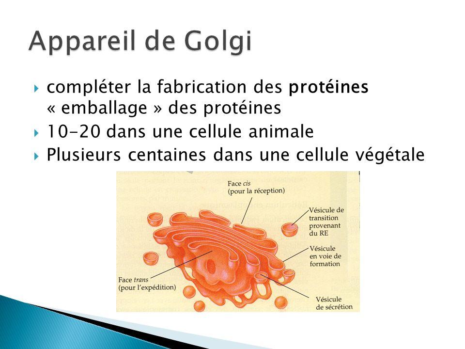 Appareil de Golgi compléter la fabrication des protéines « emballage » des protéines. 10-20 dans une cellule animale.