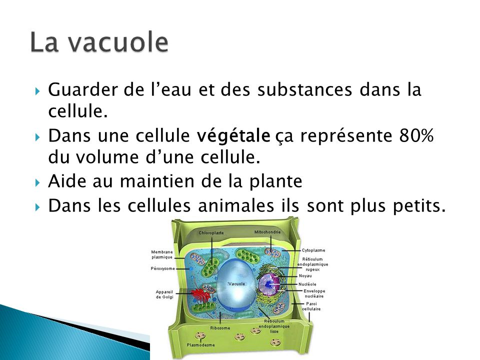 La vacuole Guarder de l'eau et des substances dans la cellule.