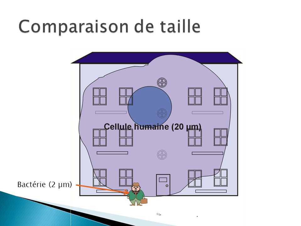 Comparaison de taille Bactérie (2 µm)