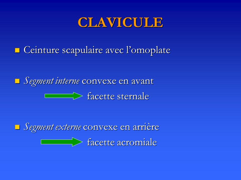 CLAVICULE Ceinture scapulaire avec l'omoplate