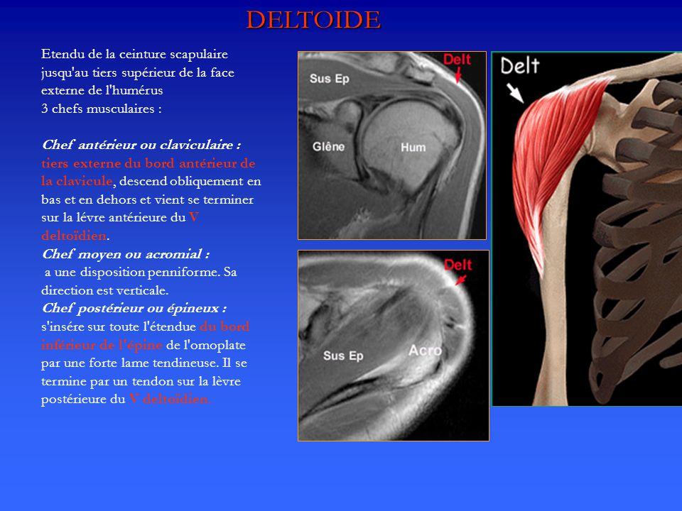 DELTOIDE Etendu de la ceinture scapulaire jusqu au tiers supérieur de la face externe de l humérus.