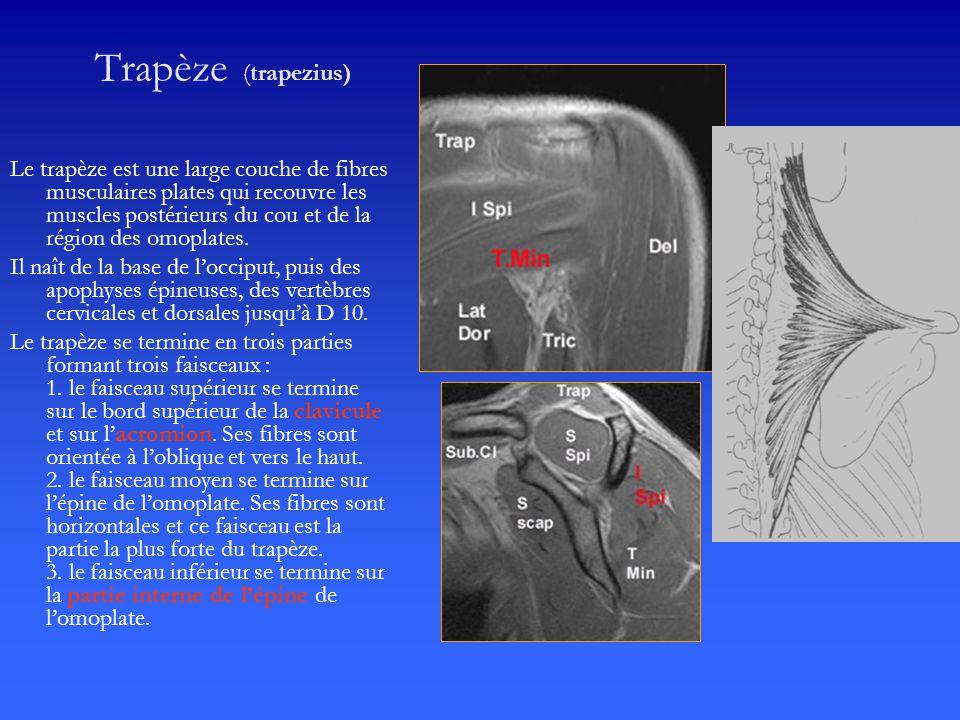 Trapèze (trapezius)