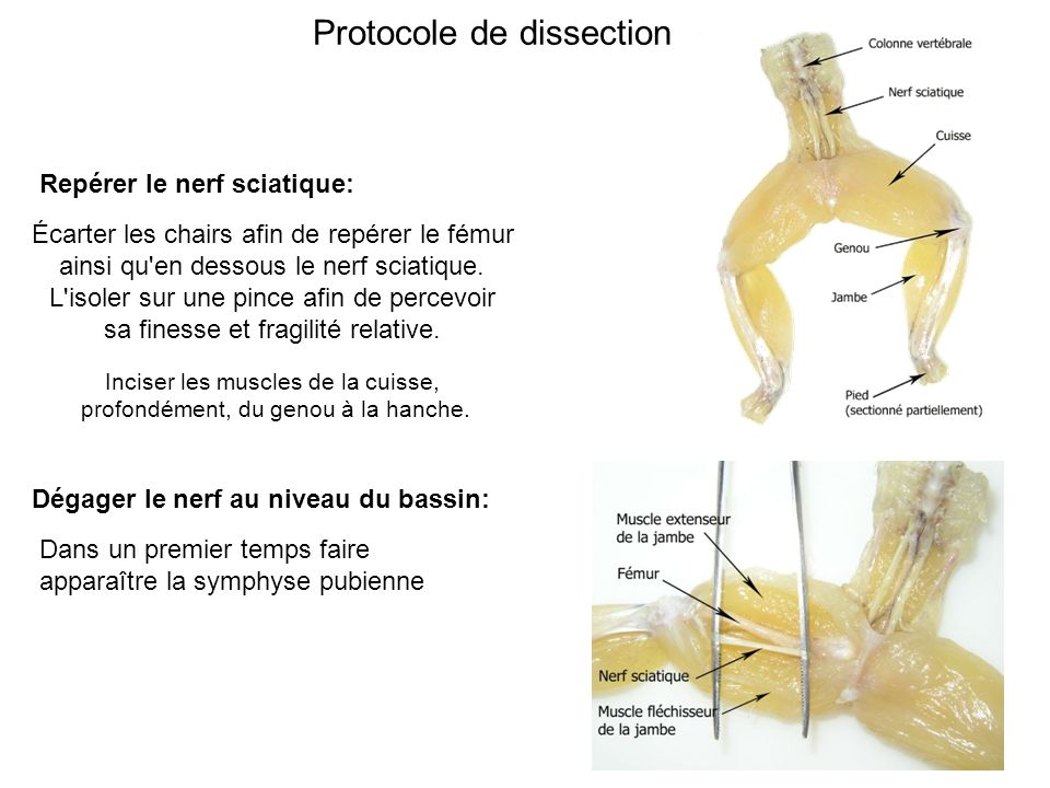 Protocole de dissection