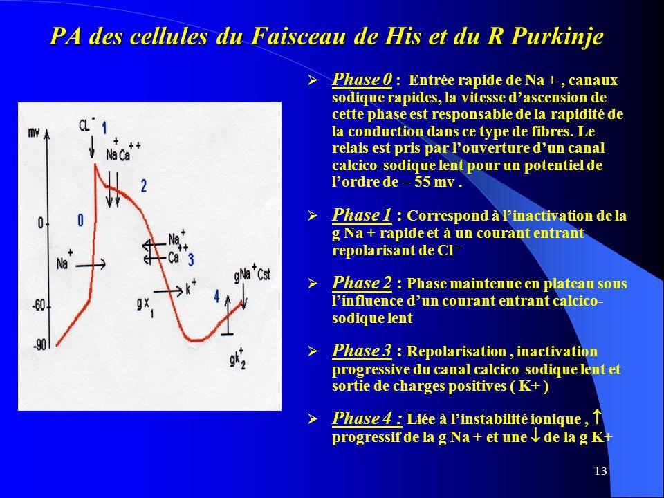 PA des cellules du Faisceau de His et du R Purkinje