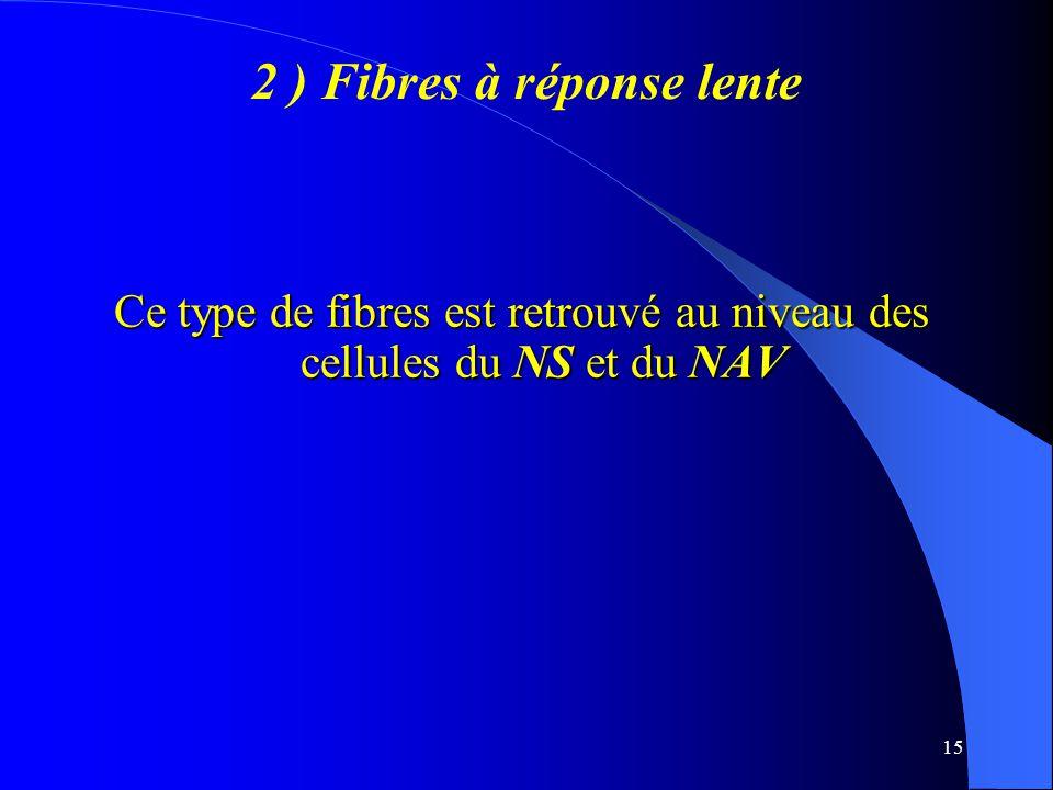 2 ) Fibres à réponse lente
