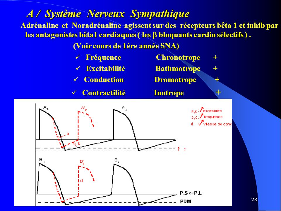 A / Système Nerveux Sympathique