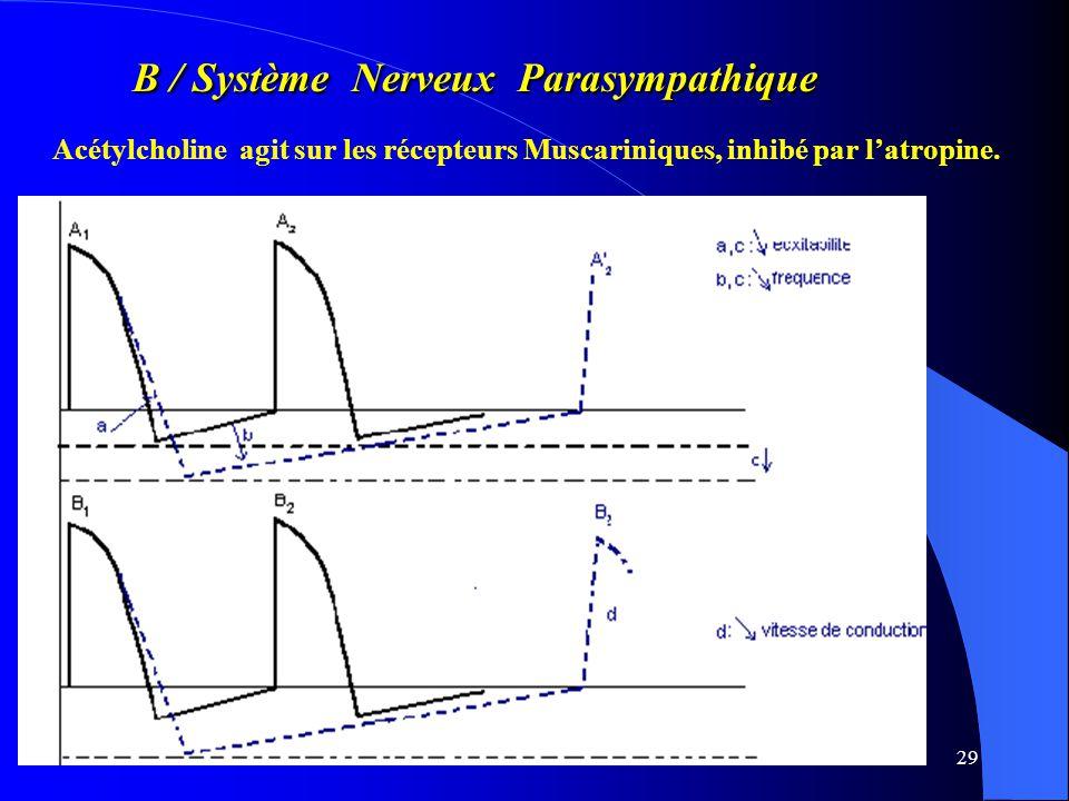 B / Système Nerveux Parasympathique