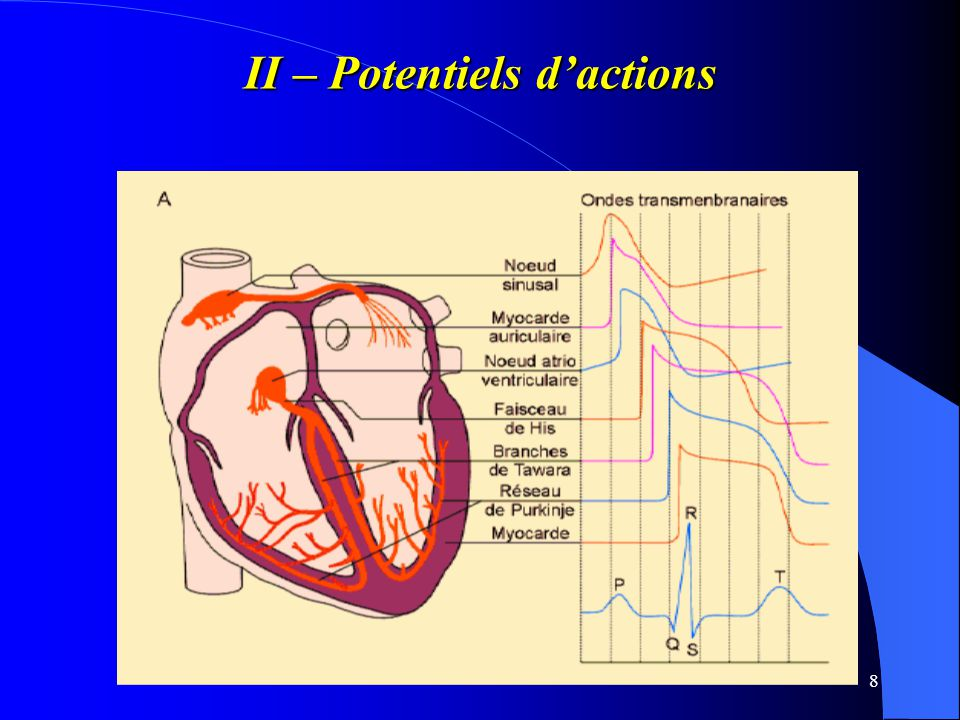 II – Potentiels d'actions