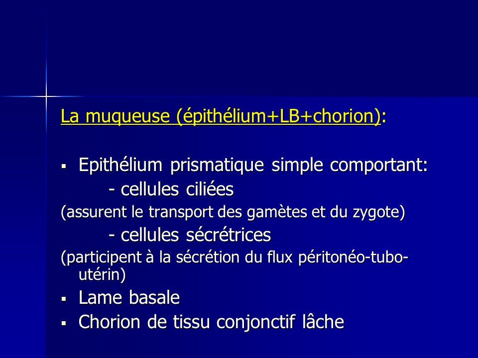 La muqueuse (épithélium+LB+chorion):