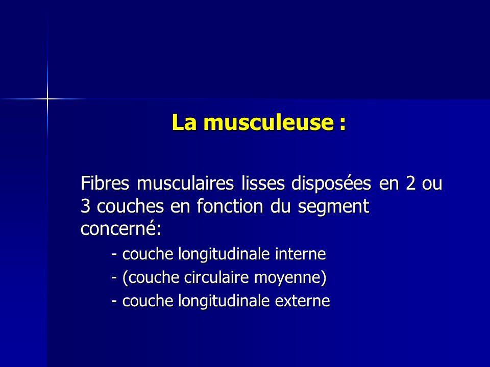 La musculeuse : Fibres musculaires lisses disposées en 2 ou 3 couches en fonction du segment concerné: