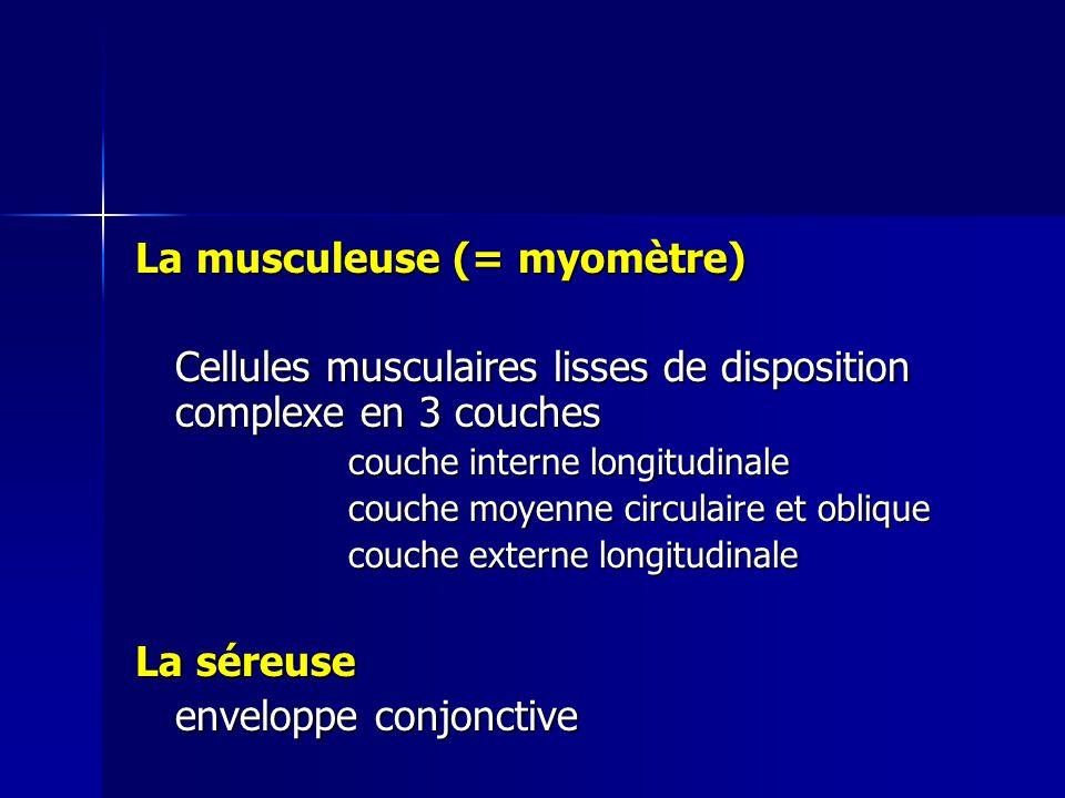 La musculeuse (= myomètre)