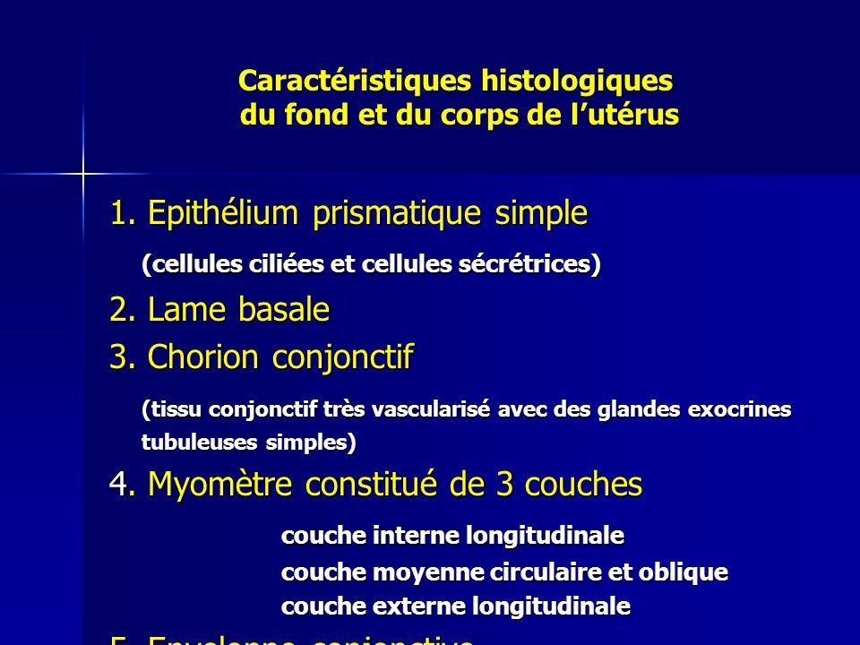 Caractéristiques histologiques du fond et du corps de l'utérus
