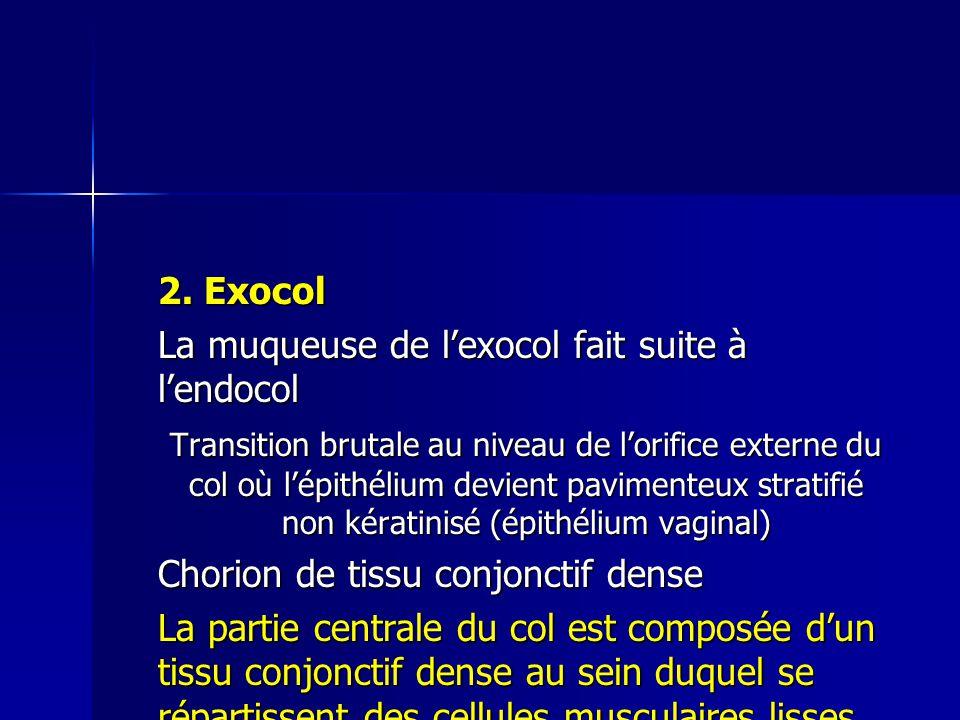 2. Exocol La muqueuse de l'exocol fait suite à l'endocol.