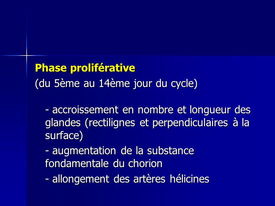 Phase proliférative (du 5ème au 14ème jour du cycle)