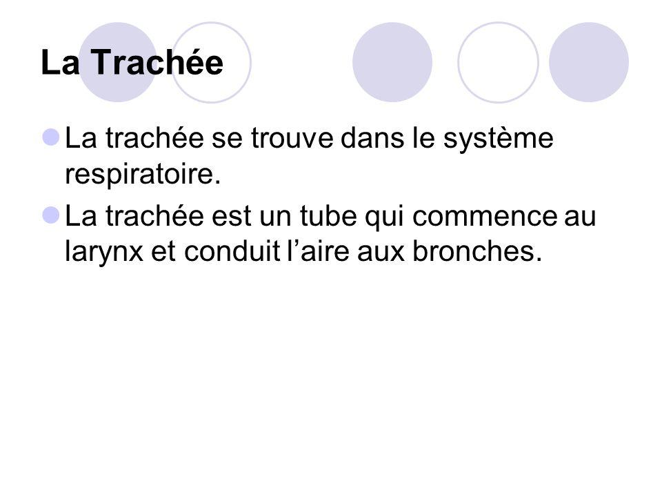 La Trachée La trachée se trouve dans le système respiratoire.