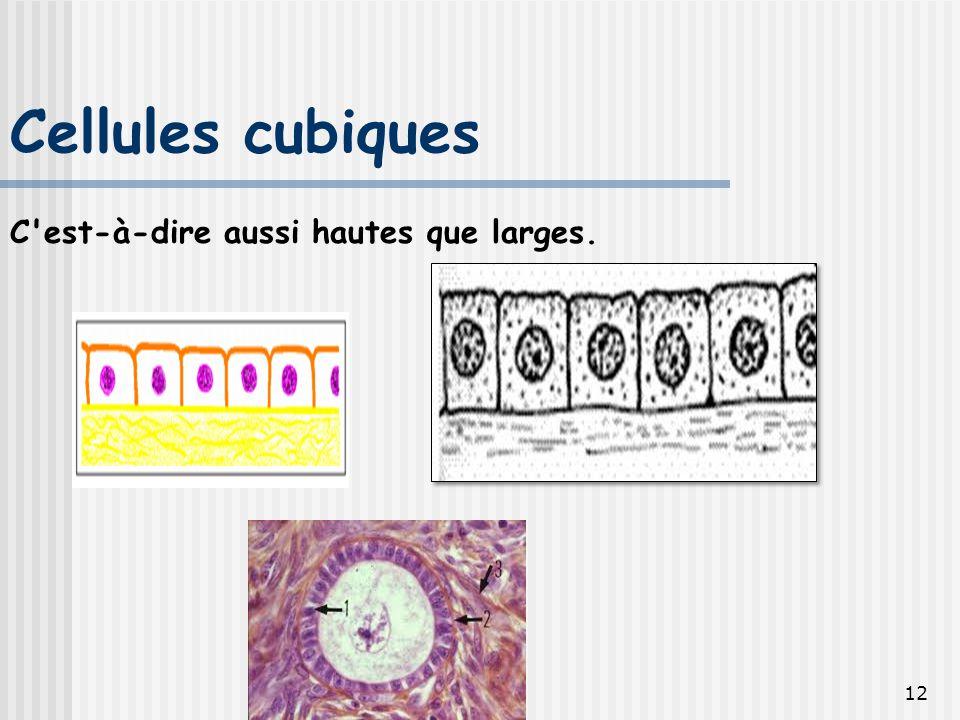 Cellules cubiques C est-à-dire aussi hautes que larges.