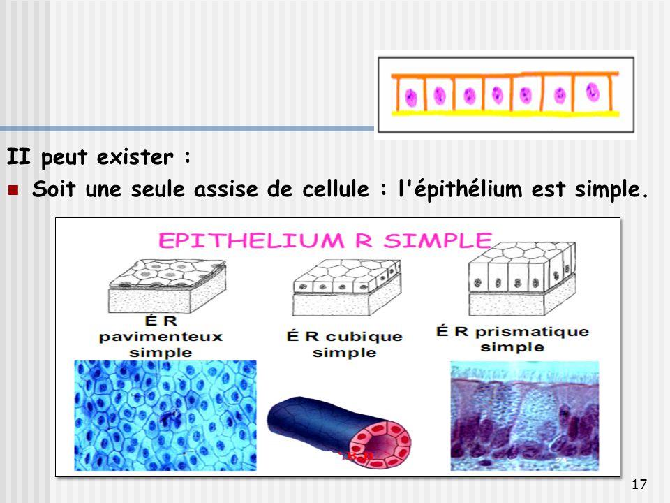 II peut exister : Soit une seule assise de cellule : l épithélium est simple.