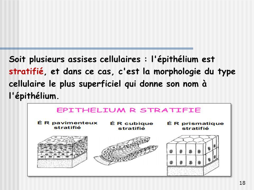 Soit plusieurs assises cellulaires : l épithélium est stratifié, et dans ce cas, c est la morphologie du type cellulaire le plus superficiel qui donne son nom à l épithélium.