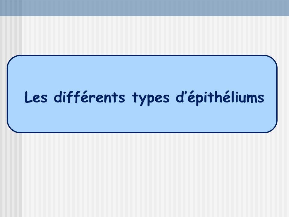 Les différents types d'épithéliums