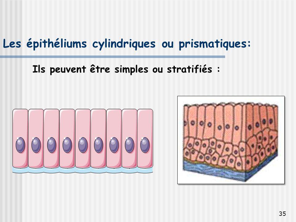 Les épithéliums cylindriques ou prismatiques: