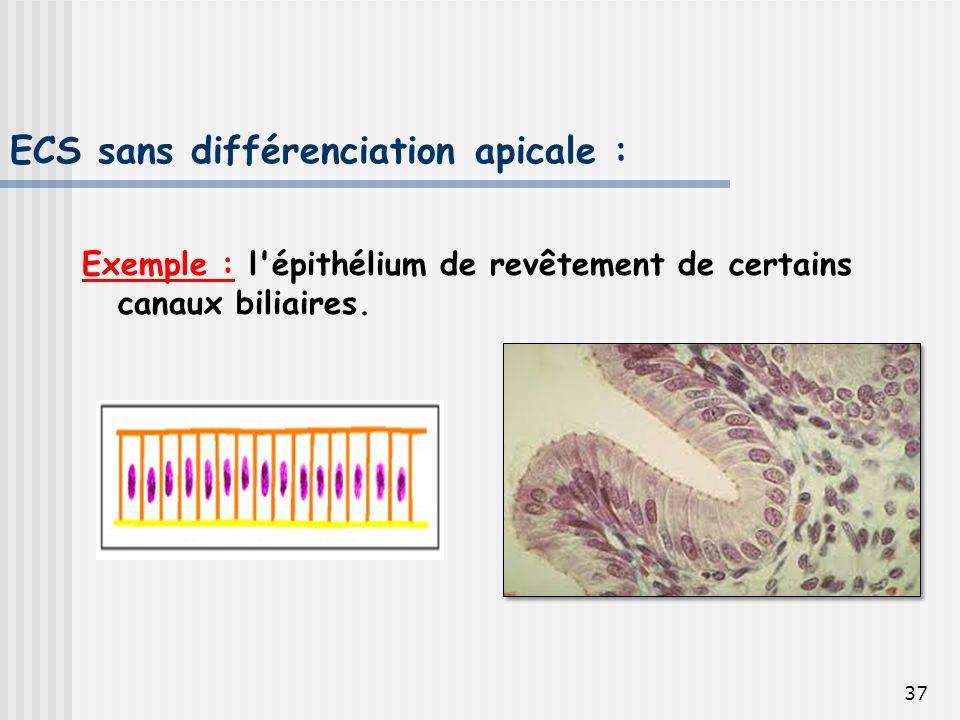 ECS sans différenciation apicale :