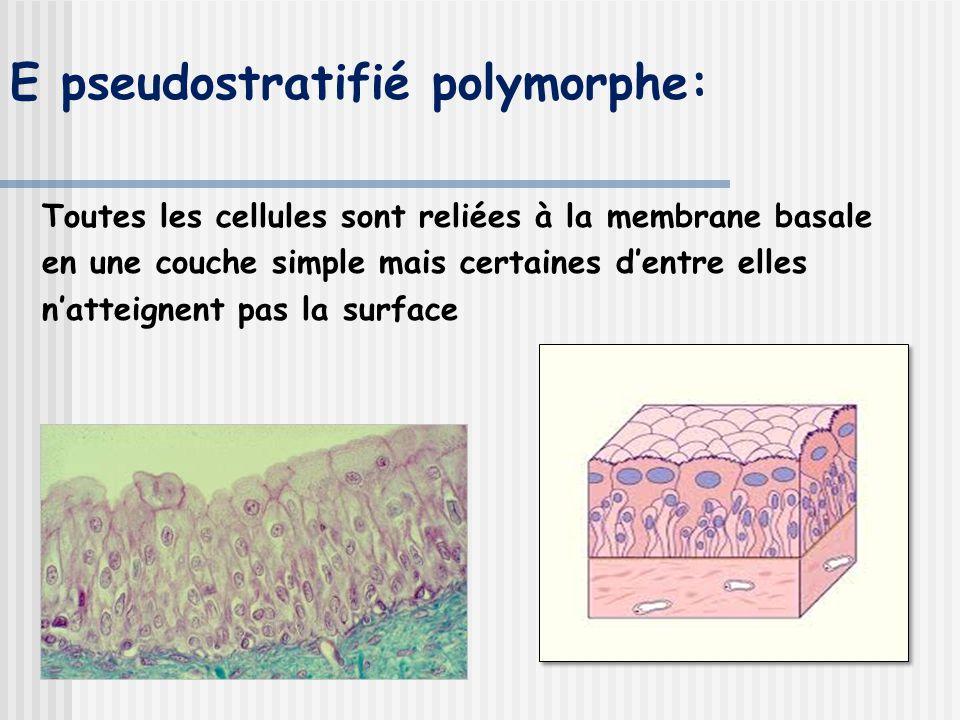 E pseudostratifié polymorphe: