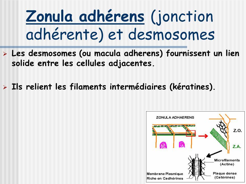 Zonula adhérens (jonction adhérente) et desmosomes