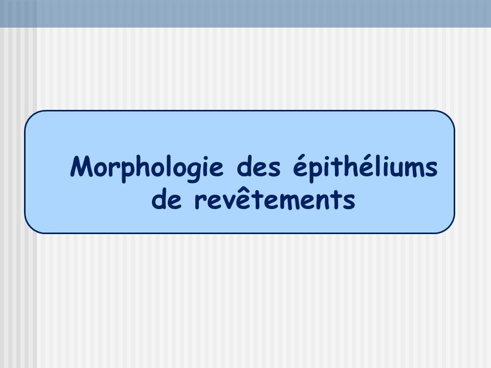 Morphologie des épithéliums de revêtements