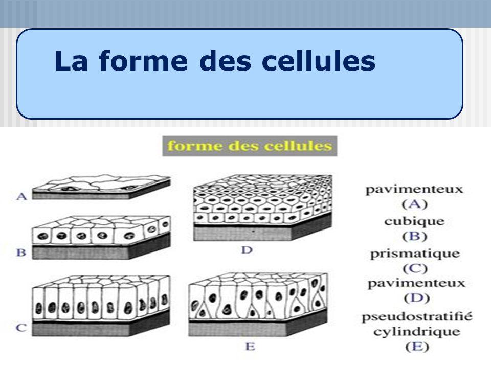 La forme des cellules