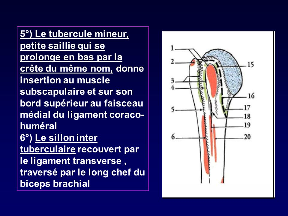 biceps origine insertion