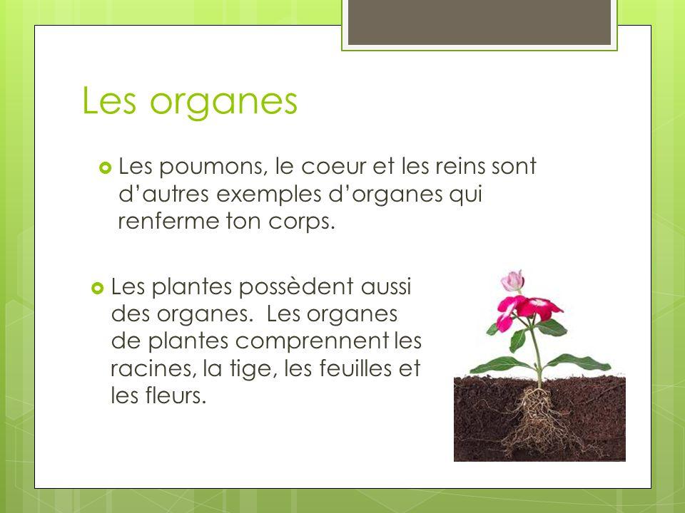Les organes Les plantes possèdent aussi des organes. Les organes de plantes comprennent les racines, la tige, les feuilles et les fleurs.
