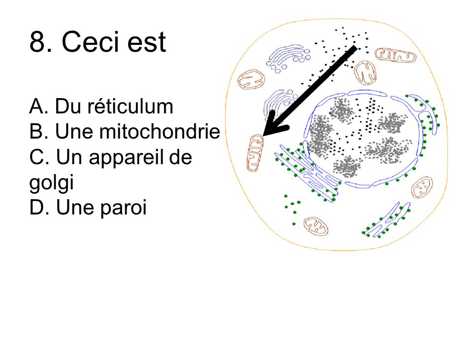 8. Ceci est A. Du réticulum B. Une mitochondrie C