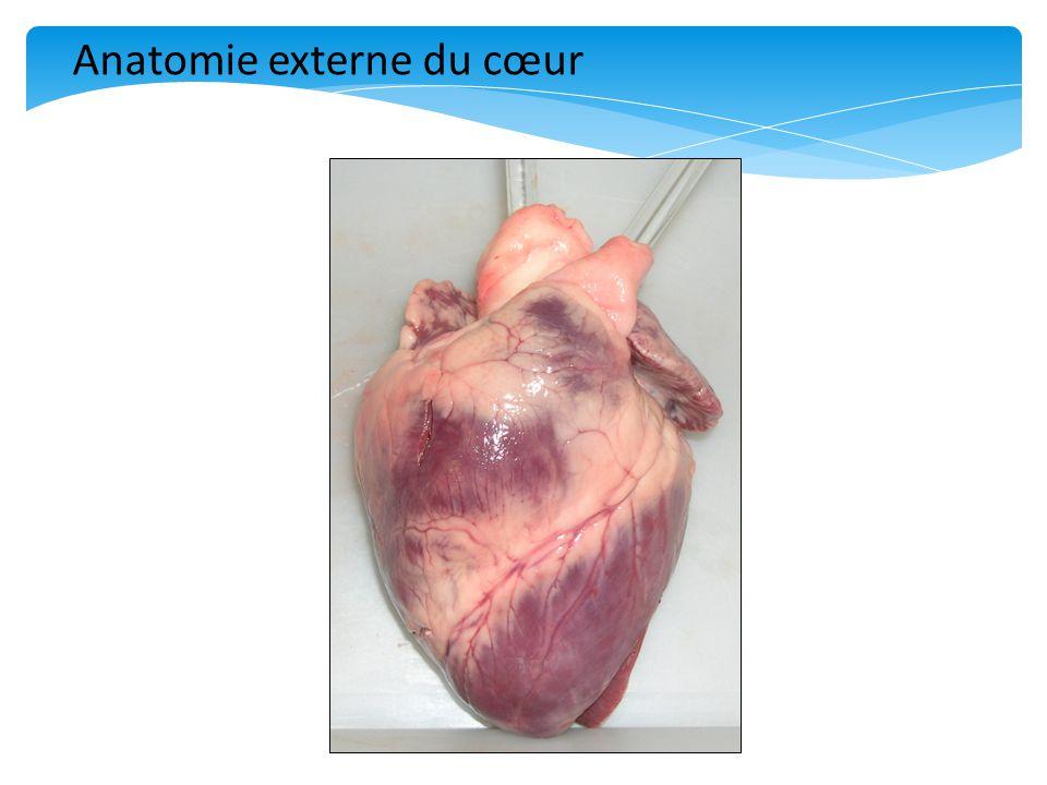 Anatomie externe du cœur