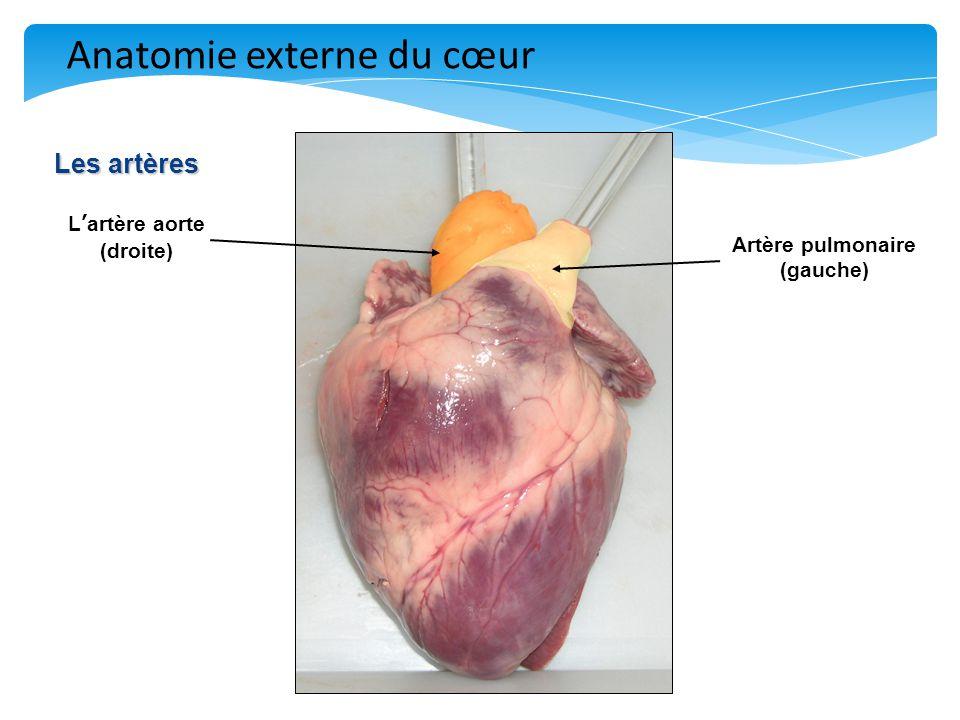 L'artère aorte (droite) Artère pulmonaire (gauche)