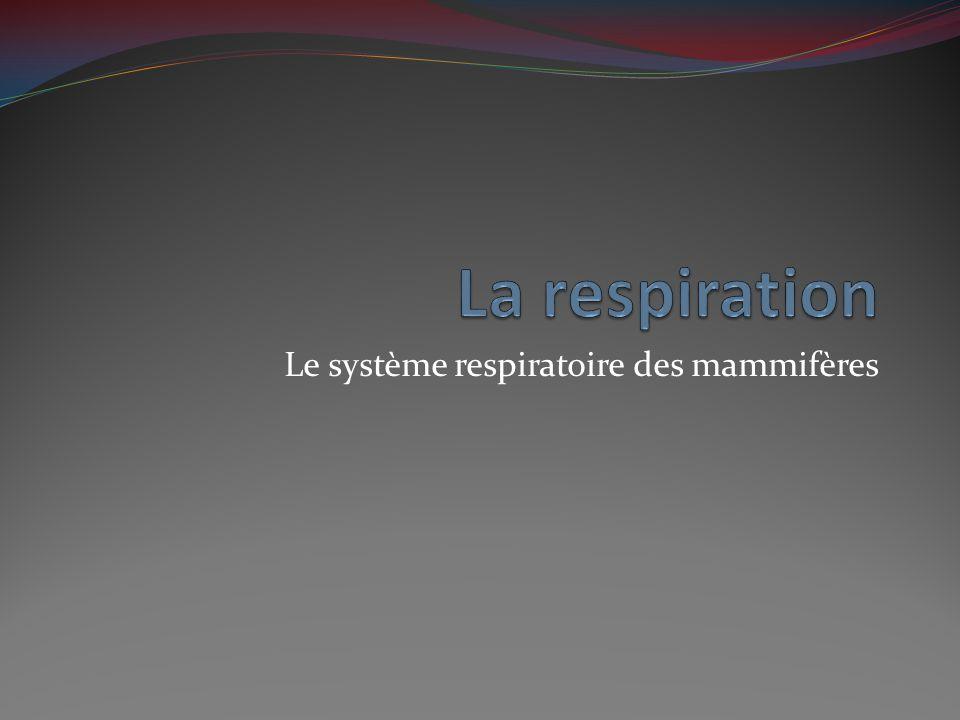 Le système respiratoire des mammifères