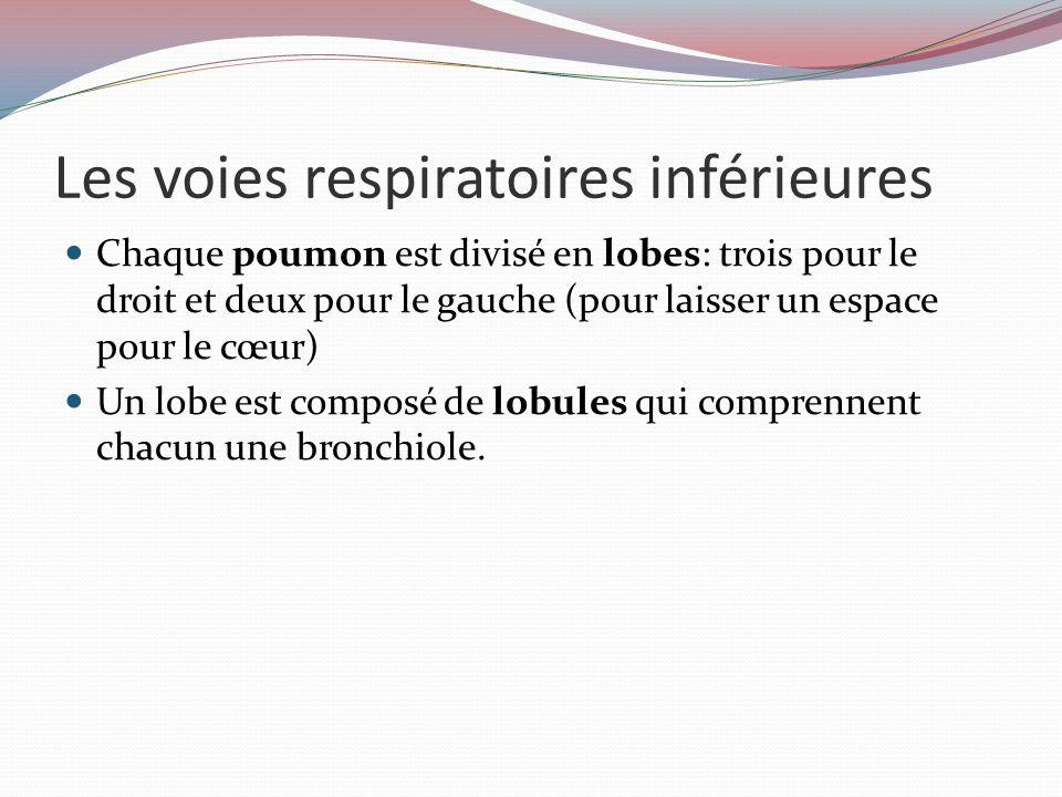 Les voies respiratoires inférieures