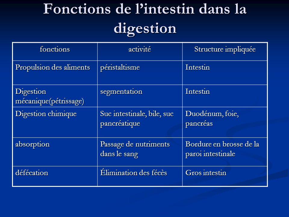 Fonctions de l'intestin dans la digestion