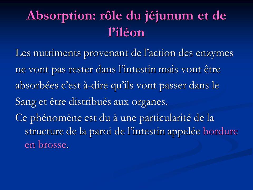 Absorption: rôle du jéjunum et de l'iléon