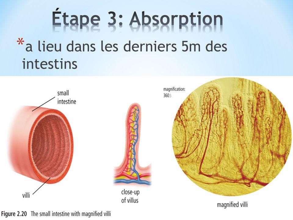 Étape 3: Absorption a lieu dans les derniers 5m des intestins