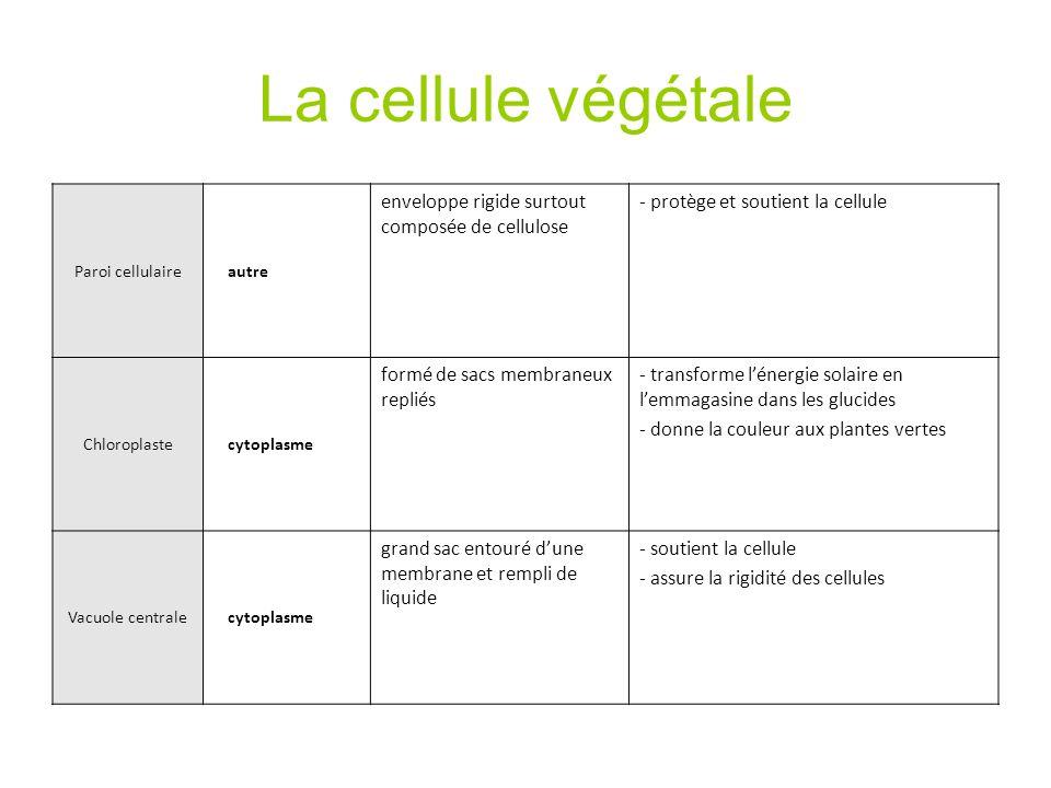 La cellule végétale enveloppe rigide surtout composée de cellulose
