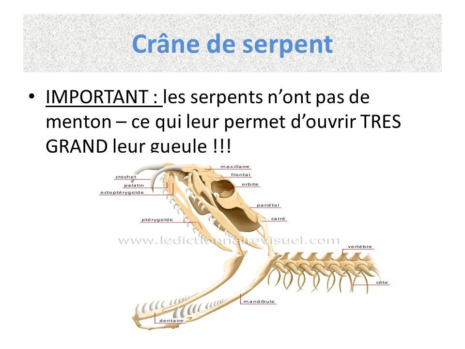 Crâne de serpent IMPORTANT : les serpents n'ont pas de menton – ce qui leur permet d'ouvrir TRES GRAND leur gueule !!!