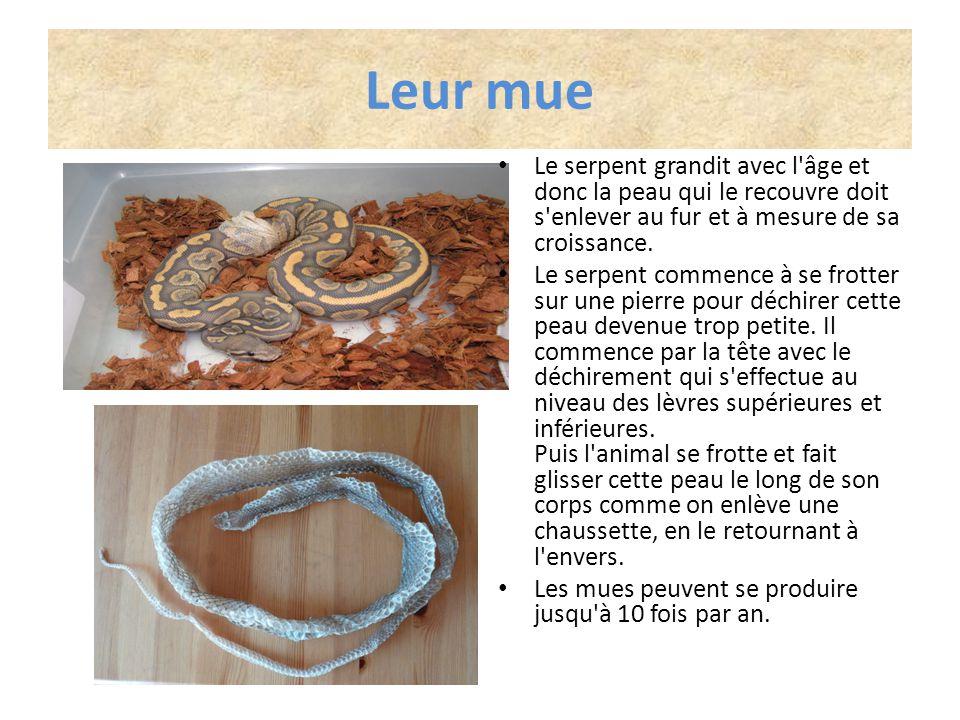 Leur mue Le serpent grandit avec l âge et donc la peau qui le recouvre doit s enlever au fur et à mesure de sa croissance.