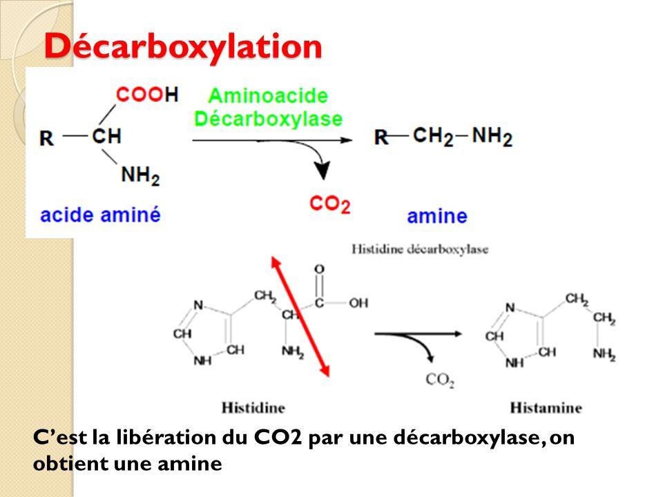 Décarboxylation C'est la libération du CO2 par une décarboxylase, on obtient une amine